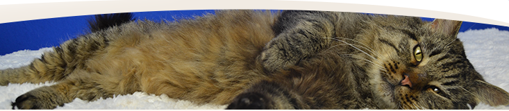 Website banner - fluffy cat