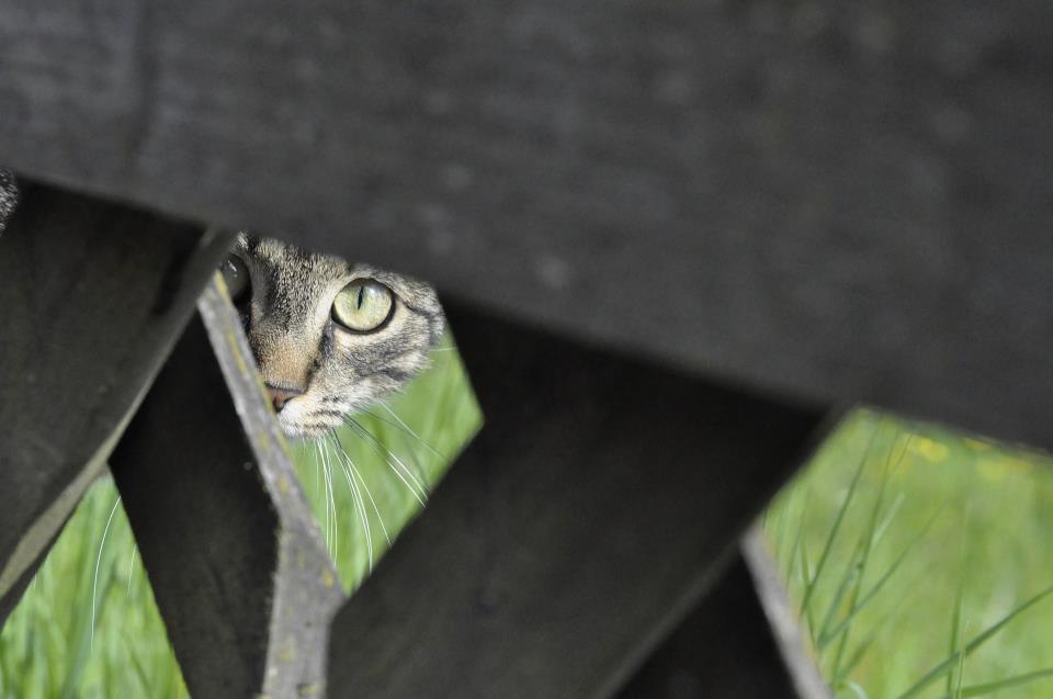 cat peeking from behind fence